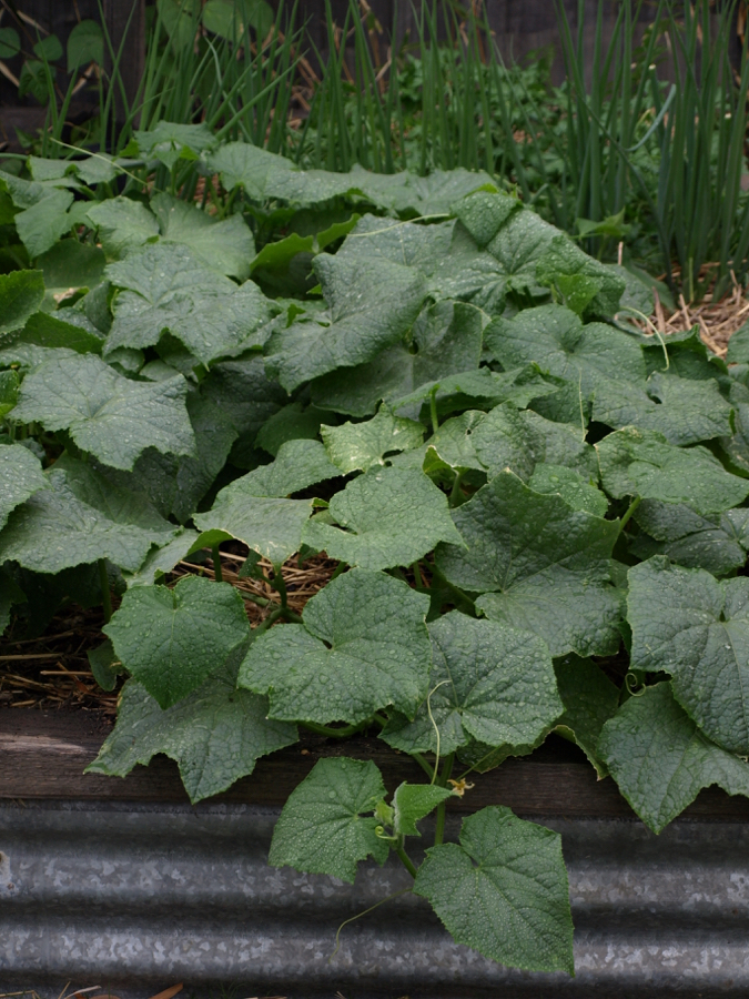 Cucumber vines