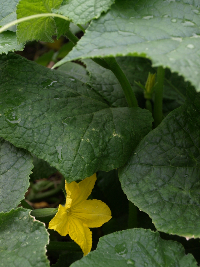 Cucumber plant and flower with mini cucumber