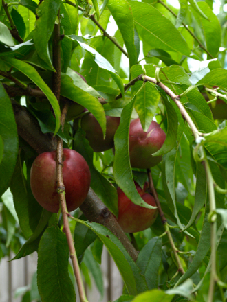White nectarines ripening on tree