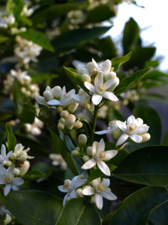 orange blossoms on orange tree