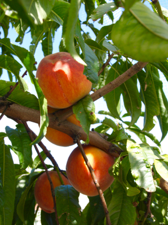 Elberta yellow peaches on tree